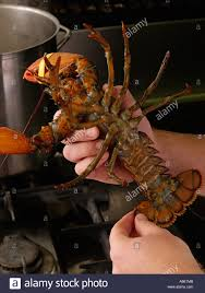 Professional Kitchen Hands Holding Live Lobster In Professional Kitchen Underside Of