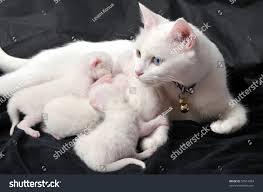 white cat nursing newborn kittens on stock photo 57814954