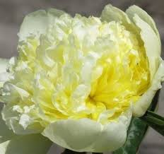 yellow peonies goldilocks peony would to one of these in my garden