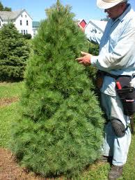 trees kruse christmas farm
