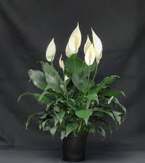 spathiphyllum high five has tough dark green foliage which when
