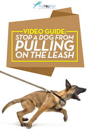 belgian shepherd video how to stop a dog from pulling on leash 101 step by step video guide