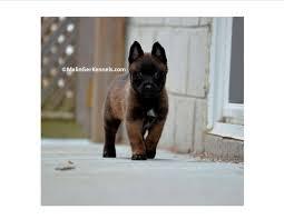 belgian sheepdog crossword belgian malinois favorite dog breeds pinterest belgian