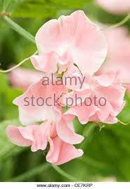 Sweet Pea Images Flower - sweet pea stock photos u0026 sweet pea stock images alamy