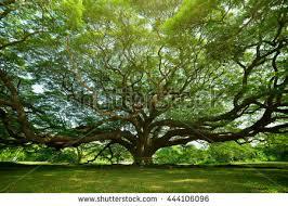 large samanea saman tree branch kanchanaburi stock photo 444106096