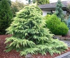 71 best evergreen trees shrubs images on plants