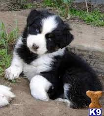 australian shepherd quebec 18 best aussies images on pinterest australian shepherd puppies