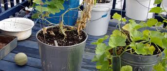growing cantaloupes in containers u2013 plants on deck