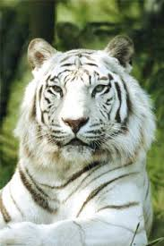 the amur or siberian tiger is the largest sub species of tiger and