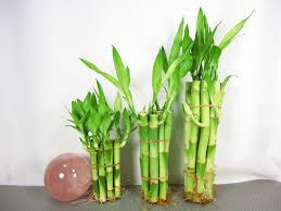 real benefits from indoor bamboo plant u2014 best home decor ideas