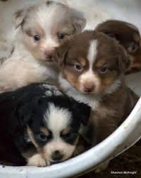 australian shepherd weiner dog mix chocolate dapple dachshund doxies doxies doxies cute
