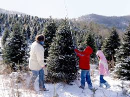 acta sparta north carolina choose and cut christmas trees farms