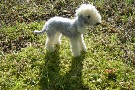 bedlington terrier stud bedlington terrier needle felted dog custom pet portrait