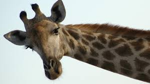 why do giraffes have horns reference com