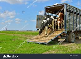 cattle cows walking out livestock transport stock photo 141768313