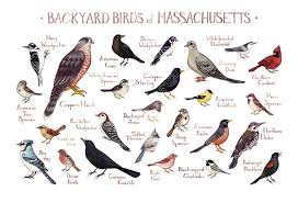 Massachusetts backyard birds field guide art print kate dolamore art