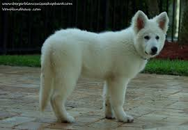 belgian shepherd ontario breeders white swiss shepherd dog dog breeders websites puppysites com