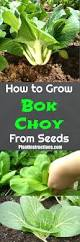 How To Grow Vegetables by How To Grow Bok Choy Gardens Plants And Growing Vegetables
