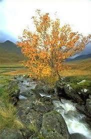 glen affric estate lone rowan tree sorbus aucuparia in autumn beside the allt coire