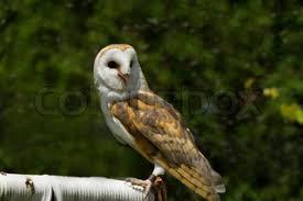 North American Barn Owl North American Barn Owl Stock Photo Colourbox