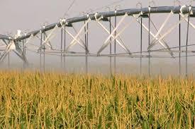 irrigated corn nebraska corn predicting late season irrigation needs agfax