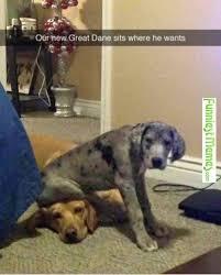 Great Dane Meme - 28 best great dane images on pinterest great danes my love
