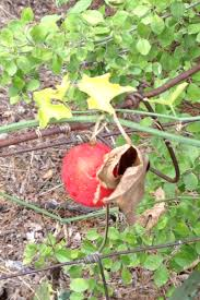 Snake Fruit Tree - help what is this red fruit vine from fort worth