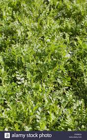 vicia sativa winter tares green manure growing in the vegetable