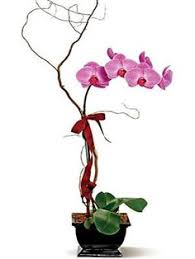 San Diego Flower Delivery Two Nested White Phaleonopsis Orchid Plants Flower Delivery In