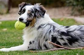 australian shepherd odor what makes australian shepherd such an amazing dog purrs n grrs