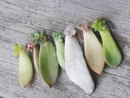 how to root a succulent leaf collect a succulent leaf cutting in