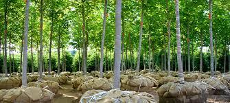 sloan nursery trees