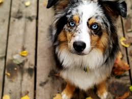 images of australian shepherd australian shepherd with blue eyes dogs puppies dogs