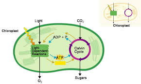 What Happens During The Light Dependent Reactions Of Photosynthesis Cellular Energy On Emaze