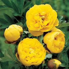 yellow peonies yellow crown peony jung garden and flower seed company