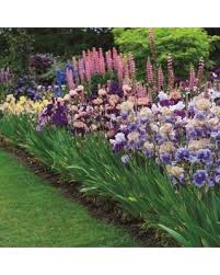 summer is here get this deal on german iris bulb mix breeder u0027s