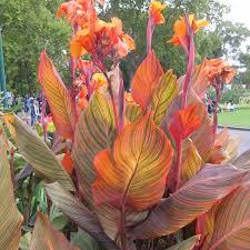 canna lilies canna lilies tropicanna 7 pot hello hello plants garden supplies