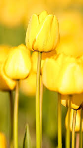 flower iphone 6 wallpapers hd part 2 nothin u0027 but yellow