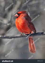 cardinal bird male one most beautiful stock photo 30356059