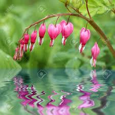 bleeding hearts flowers bleeding hearts flowers blooming genius