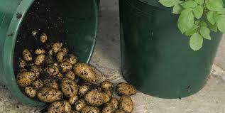 grow a potato farm in buckets five gallon ideas