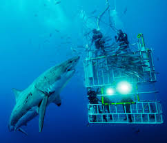 great white shark cage diving look at the size of that shark
