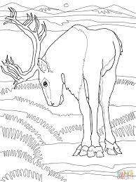 caribou deer coloring page free printable coloring pages