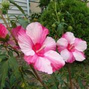 Summer Flowers For Garden - best garden flowers for color all summer this old house