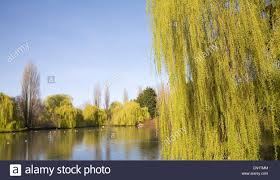 ornamental duck pond lined in by willow trees castle park