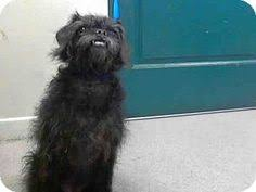 affenpinscher in texas pictures of nelly in rogers ar a affenpinscher mix for adoption