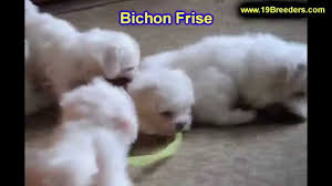 bichon frise breeders near me bichon frise puppies dogs for sale in montgomery alabama al