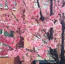 photos may like warmth triggers early bloom for cherry blossom trees