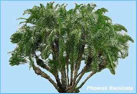 caring for your reclinata senegal date palms