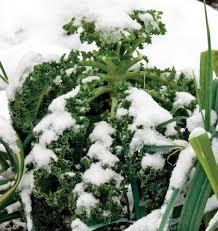 winter blend kale seeds